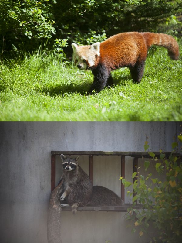 Red panda & Trash panda