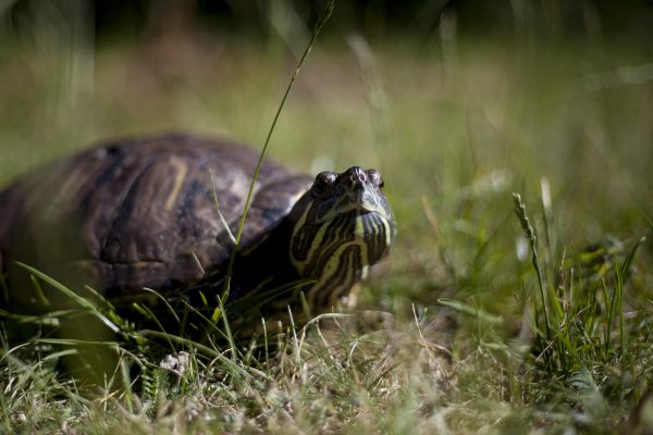 Eetu the turtle